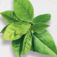 Long life herb